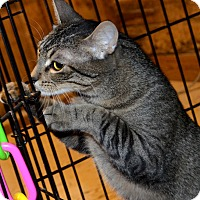 Abyssinian Cat for adoption in Taftville, Connecticut - Thaddeus