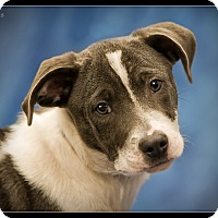 Adopt A Pet :: Lewis - Wickenburg, AZ