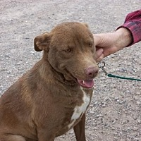 Adopt A Pet :: Ginger - Golden Valley, AZ