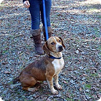 Adopt A Pet :: Gingersnap - Dumfries, VA