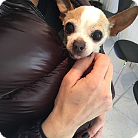 Adopt A Pet :: Chicken the teacup chi - Los Angeles, CA