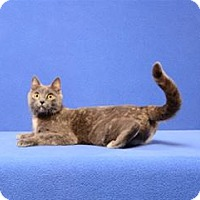 Domestic Shorthair Cat for adoption in Cary, North Carolina - Mia