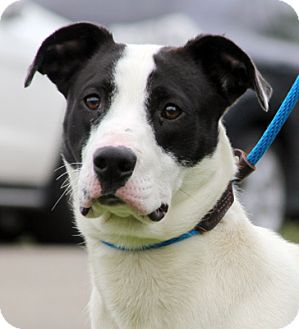 Labrador Retriever/Great Dane Mix Dog for adoption in Harrison, New York - Larz