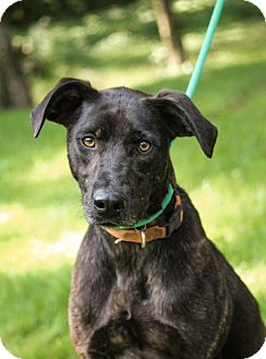 Labrador Retriever Mix Dog for adoption in Brattleboro, Vermont - Sam