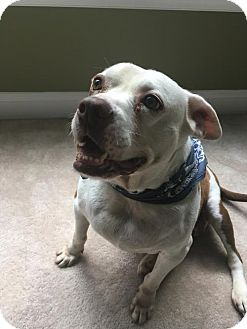 English Bulldog Mix Dog for adoption in Westampton, New Jersey - Andie 33199145  *IN FOSTER*