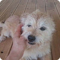 Terrier (Unknown Type, Small) Mix Dog for adoption in Oakton, Virginia - Fiat