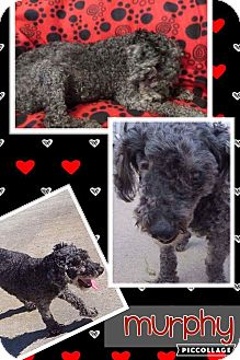 Poodle (Toy or Tea Cup) Mix Dog for adoption in Fort Wayne, Indiana - Murphy