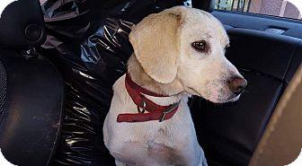 Beagle/Labrador Retriever Mix Dog for adoption in Rosemount, Minnesota - Logan