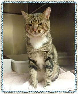Domestic Shorthair Cat for adoption in Marietta, Georgia - JUNIOR