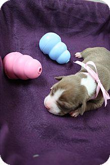 Pit Bull Terrier Puppy for adoption in Tehachapi, California - Sneezy