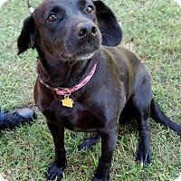 Labrador Retriever Mix Dog for adoption in Coppell, Texas - Fergie