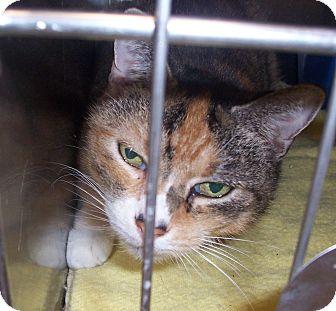 Domestic Shorthair Cat for adoption in Fall River, Massachusetts - Cali
