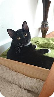 Domestic Shorthair Kitten for adoption in Colorado Springs, Colorado - Tosa