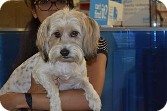 Lhasa Apso/Poodle (Miniature) Mix Dog for adoption in Lodi, California - Katie