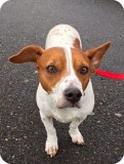 Beagle/Corgi Mix Dog for adoption in Bellingham, Washington - Izzy