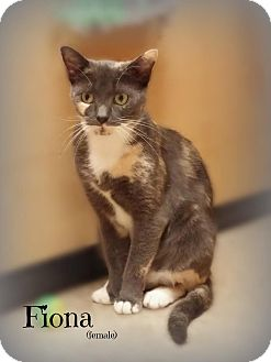 Domestic Shorthair Cat for adoption in Glen Mills, Pennsylvania - Fiona