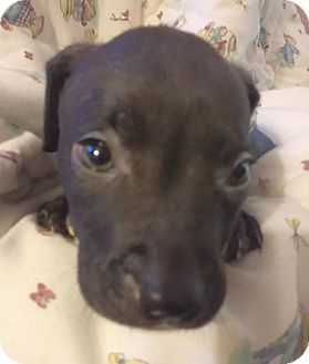 Labrador Retriever/Pit Bull Terrier Mix Puppy for adoption in Cincinnati, Ohio - Cinder