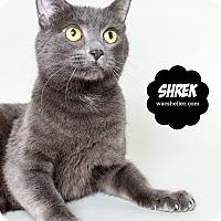 Russian Blue Cat for adoption in Wyandotte, Michigan - Shrek @PetSmart, Canton