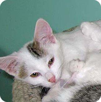 Siamese Kitten for adoption in Kansas City, Missouri - Booker