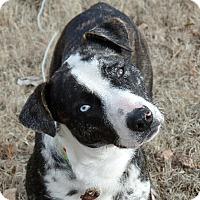 Adopt A Pet :: Blue - Great Falls, VA