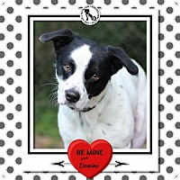 Adopt A Pet :: DOMINO - Tomball, TX