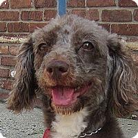 Adopt A Pet :: Champange - Rockaway, NJ