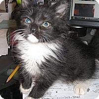 Adopt A Pet :: Caity - Harriman, NY, NY