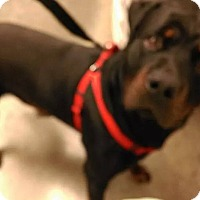 Adopt A Pet :: Rocky- Pure - Chandler, IN