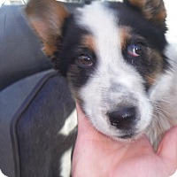 Adopt A Pet :: Wishbone - Arenas Valley, NM
