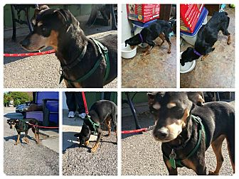 Miniature Pinscher Mix Dog for adoption in Lafayette, Indiana - Gia