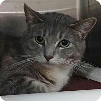 Domestic Shorthair Cat for adoption in Milwaukee, Wisconsin - Sheeva