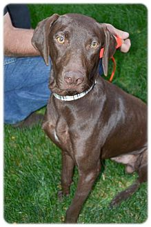 Labrador Retriever/Weimaraner Mix Dog for adoption in Broomfield, Colorado - Nix