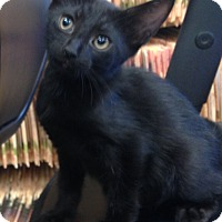 Adopt A Pet :: Knight - Delray Beach, FL