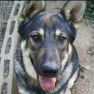 German Shepherd Dog/Husky Mix Dog for adoption in Knoxville, Tennessee - Marli