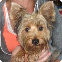 Adopt A Pet :: Adriana - Westport, CT