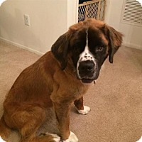 Adopt A Pet :: Belle - Matawan, NJ