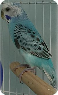 Parakeet - Other for adoption in Dedham, Massachusetts - TINSLEY