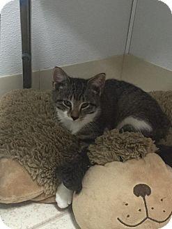 Domestic Shorthair Kitten for adoption in Bryan, Ohio - daisy