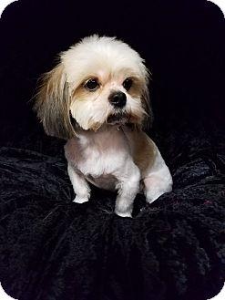 Lhasa Apso/Shih Tzu Mix Dog for adoption in Urbana, Ohio - Keith Montgomery