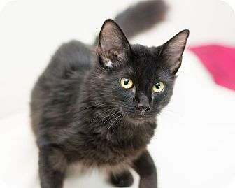 Domestic Longhair Kitten for adoption in Fountain Hills, Arizona - Lil Paw