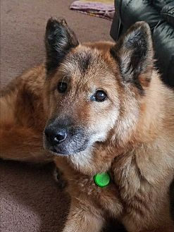 German Shepherd Dog Mix Dog for adoption in Kouts, Indiana - Star