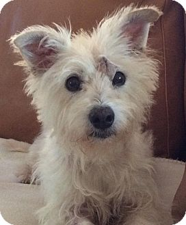 Westie, West Highland White Terrier Dog for adoption in Frisco, Texas - LADY BIRD-ADOPTION PENDING