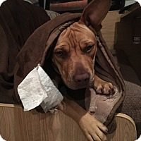 Pit Bull Terrier Mix Dog for adoption in Sonora, California - COPPER