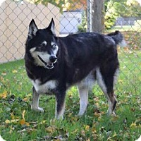Siberian Husky Mix Dog for adoption in Shingleton, Michigan - Samson