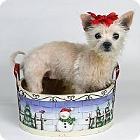 Adopt A Pet :: Snowbelle - Joliet, IL