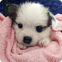 Terrier (Unknown Type, Medium) Mix Puppy for adoption in Lakeport, California - Sasha's Kira