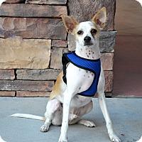 Adopt A Pet :: Gryffon - Chandler, AZ