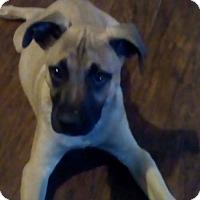 Adopt A Pet :: PacMan (Has Application) - Washington, DC