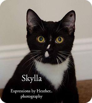 Domestic Shorthair Kitten for adoption in Mount Laurel, New Jersey - Skylla (Hera's babies)