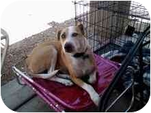 Bull Terrier/Border Collie Mix Dog for adoption in Mesa, Arizona - Gus